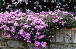 Phlox subulata 'Alexander's Surprise' - Moss Phlox trailing over the edge of a wall