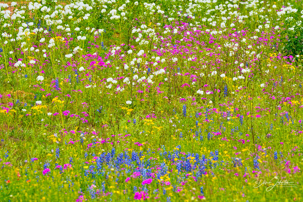 Texas wildflowers in bloom- Prickly poppies and phox, Floresville, Texas, USA