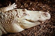 Rare albino American alligator (Alligator mississipiensis) relaxes on land in Myrtle Beach, SC.