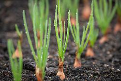 Allium cepa 'Longor' - Shallot