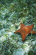 Belize, Central America - Underwater life with giant star fish near Placencia