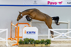 005, Nils SMH<br /> KWPN Hengstenkeuring 2021<br /> © Hippo Foto - Dirk Caremans<br />  03/02/2021