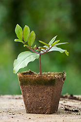 Young seedling of Cobaea scandens germinated in a biodegradable peat pot