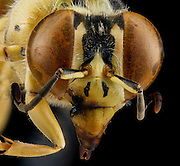 Stunning pictures of bees show the insects as you've never seen them before - with fluffy 'hair' and stained-glass wings<br /> <br /> These incredibly detailed pictures of bees will make you think twice about swatting away the stinger plaguing your late summer picnic. <br /> Sam Droege is the head of the U.S. Geological Survey's Bee Inventory and Monitoring Laboratory in Beltsville, Maryland and for the past six or seven years he and his team of about eight people have been photographing bees and other insects. <br /> <br /> 'We really like the idea that all of these pictures are public domain, anyone can grab them for free,' <br /> 'They don't actually have to attribute them to us. I think it shows that government tax dollars are being used wisely.'<br /> But it wasn't until around 2010 that the quality of the images got to where they are now.<br /> For years they used simple point and shoot cameras, but then the army shared their technique for capturing insects using macro photography. <br /> Mr Droege says that the army developed the technique when they were dealing with insect infestations and other problems in remote areas. <br /> Macro-photography allowed them to get a high-quality picture and send it to experts for identification. <br /> <br /> They passed along their technique to the USGS, and Mr Droege modified it to be done in a lab as opposed to the mobile set-up the army developed. <br /> The macro photography allows you to see every detail of the insect up close without needing to use a microscope. <br /> So far, Mr Droege says he has yet to find an insect that looks ugly when it's blown up. Even cockroaches look beautiful with their shimmering coloring and sculpturing. <br /> Currently the USGS has posted 1,200 pictures of bees and other insects to its Flickr page. <br /> The pictures are taken using a 'pretty standard' Canon 5D II with a 65mm macro lens. <br /> Mr Droege says that it takes about two to four hours to complete one picture, from washing 