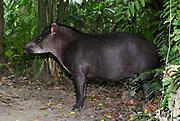 Brazilian Tapir, Tapirus terrestris, in rainforest, Manu, Peru, jungle, Amazonia, vunerable.