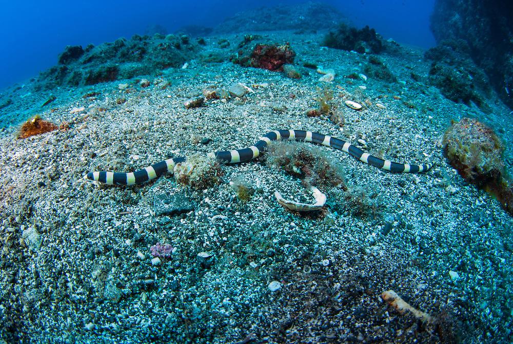 Kermadecs Marine Reserve Saddled Snake Eel, Leiuranus semicinctus