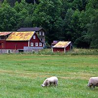 Europe, Norway, Flam. Farm with sheep in Flam.