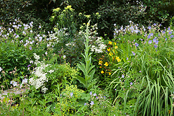 Thalictrum, clematis, verbascum and geraniums in a border at Glebe Cottage