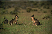 Patagonian Hares or Maras<br />Dolichotis patagonum<br />Patagonia, ARGENTINA.   South America<br />RANGE: Argentina 28 to 50 degrees S