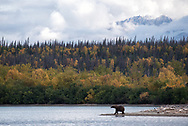 A brown bear stands on a spit of land along Naknek Lake while looking for salmon.