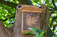 Blue-tit peeping out of nest-box