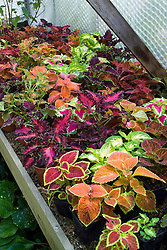 Coleus ( Solenostemon ) overwintering on a bench in the greenhouse at Great Dixter
