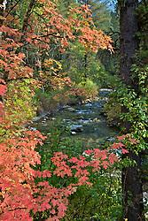Mountain Maples of Autumn, Big Elk Creek, Swan Valley, Idaho