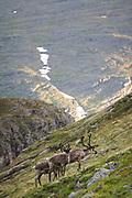 A group of Reindeer (Rangifer tarandus) on hillside in highlands, Skjervøy municipality, Norway Ⓒ Davis Ulands   davisulands.com