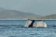 Humpback Whale (Megaptera novaeangliae) diving in Saginaw Channel in Southeast Alaska. Summer. Evening.