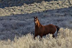 Wyoming Mustang, evening light