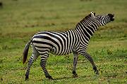 Plains zebra (Equus) neighing, Serengeti National Park, Tanzania, Africa