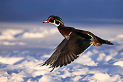 Wood Duck in flight on a cold Montana winter morning.