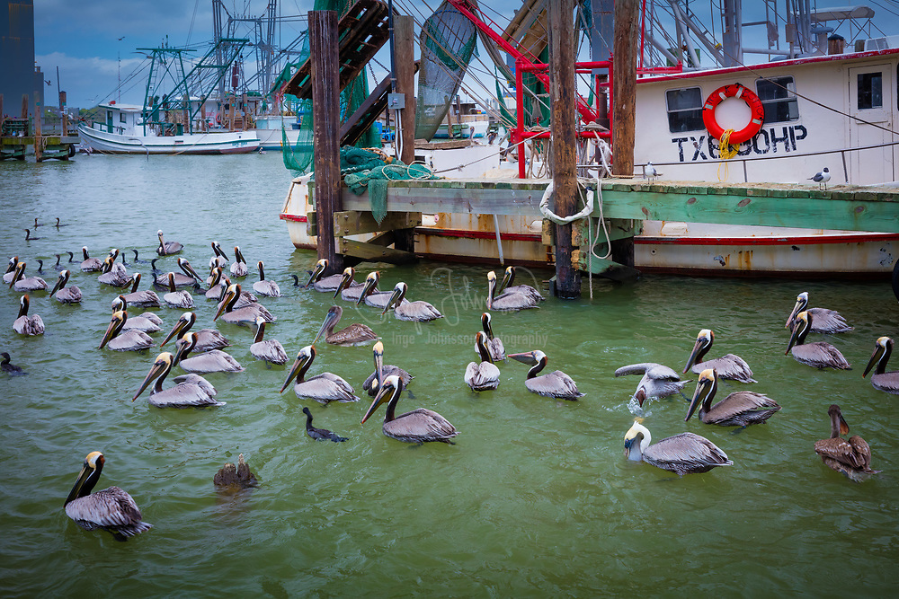 Pelicans in Galveston harbor. Pelicans are a genus of large water birds that makes up the family Pelecanidae. They are characterised by a long beak and a large throat pouch used for catching prey and draining water from the scooped up contents before swallowing. They have predominantly pale plumage, the exceptions being the brown and Peruvian pelicans. The bills, pouches and bare facial skin of all species become brightly coloured before the breeding season. The eight living pelican species have a patchy global distribution, ranging latitudinally from the tropics to the temperate zone, though they are absent from interior South America as well as from polar regions and the open ocean.