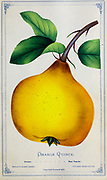 Orange Quince from Dewey's Pocket Series ' The nurseryman's pocket specimen book : colored from nature : fruits, flowers, ornamental trees, shrubs, roses, &c by Dewey, D. M. (Dellon Marcus), 1819-1889, publisher; Mason, S.F Published in Rochester, NY by D.M. Dewey in 1872