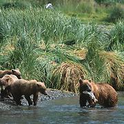 Alaska Brown Bear (Ursus middendorffi) mother and three cubs fishing for salmon. Alaskan Peninsula, Alaska