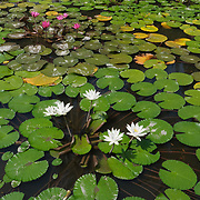 Lily pads in a garden pond at Goa Gajah.  Uban, Indonesia.