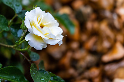 White and yellow rose covered with raindrops shot while it was still raining