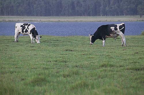 South America, Uruguay, Rocha, Laguna de Rocha, grazing cattle
