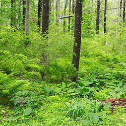 Skunk cabbage and ostrich ferns grow nxet to a small stream bed in the forest at the Striar Conservancy, a Wildlands Trust preserve in Halifax, Massachusetts.