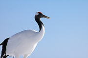 Red Crowned Crane, Grus japonensis, portrait against blue sky background, Hokkaido Island, japanese, Asian, cranes, tancho, crested, white, black,  wilderness, wild, untamed, photography, ornithology, snow, graceful, majestic.