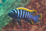 A male Cynotilapia zebroides swims near a rocky reef at Likoma Island, Lake Malawi, Malawi, Africa. Red Top color morph