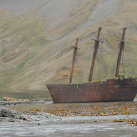 A young Southern Fur Seal rests on rocks near where the rusting Bayard, a steel-hulled coal-carrying ship, foundered in Ocean Harbor, South Georgia, Antarctica.