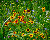 Coreopsis. Image taken with a Fuji X-T2 camera and 100-400 mm OIS lens
