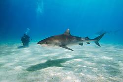Tiger Sharks, Galeocerdo cuvier, and scuba diver, West End, Grand Bahama, Bahamas, Caribbean, Atlantic Ocean