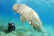 "24/03/2010  - Egypt - <br /> Divers Close encounter with Dennis The ""Friendly"" Dugong<br /> These stunning photos was taken By Diver and Photographer  Rutger Geerling, of the now famous and friendly Dugong.<br /> <br /> Try imagining an area as large as a couple of football fields of underwater seagrass and an underwater visibility of about 20 meters/60 feet and you'll understand it's not easy to find a specific living animal, even it has the size of about two human beings.<br /> <br /> The ""thing"" I am talking about is ""Dennis"", the famous resident seacow (or Dugong, it's one of the three members of the Manatee family) of the Abu Dabbab bay near Port Ghalib in the Marsa Alam region of Egypt.<br /> (©Rutger Geerling/Exclusivepix)"