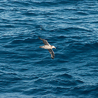 Sea birds soar over South Atlantic Ocean near Falkland Islands