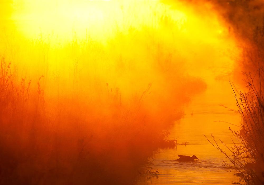 Cinnamon Teal silhoute at Sunrise.