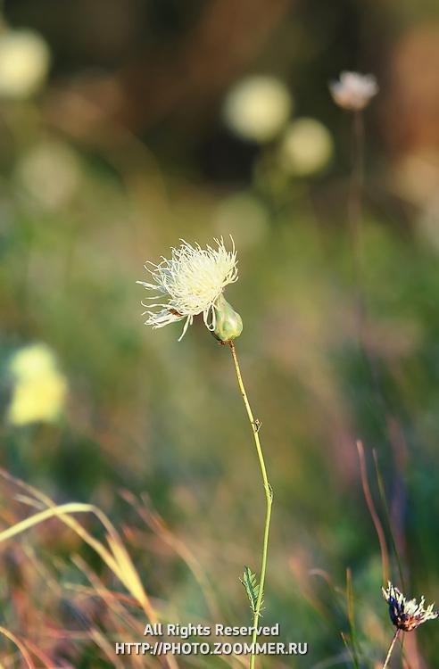 "Steppe flower in Russian National Park ""Samara Luka"""