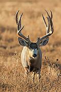 Close-up of trophy mule deer buck