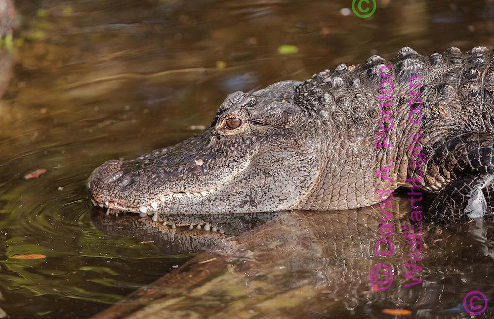 Alligator crosses submerged log in a pool in a cypress swamp, Everglades ecosystem, Big Cypress National Preserve, Florida, ©  David A. Ponton