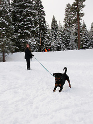 California, Lake Tahoe: Young Rottweiler dog 15 month old in the snow at  North Lake Tahoe Regional Park.  Photo copyright Lee Foster.  Photo # cataho107561