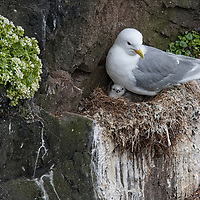 One of many Kittiwakes nesting at the Látrabjarg bird cliffs. The Kittiwake is the only type of cliff-nesting seagull.