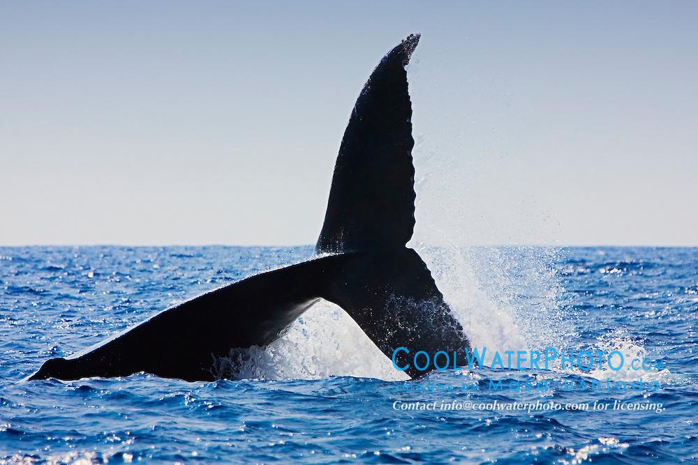Humpback Whale, throwing peduncle, Megaptera novaeangliae, Hawaii, Pacific Ocean.