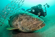 A scuba diver swims next to an endangered Goliath Grouper, Epinephelus itajara, next to the Mispah shipwreck offshore Singer Island, Florida, United States, during a spawning aggregation in August 2014.