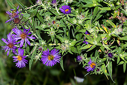 New England Aster (Symphyotrichum novae-angliae) blossom with spotted cucumber beetle (Diabrotica undecimpunctata)