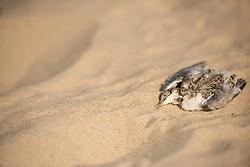 Little tern Sternula albifrons, deceased fledgling on beach, Winterton-on-Sea, Norfolk, July