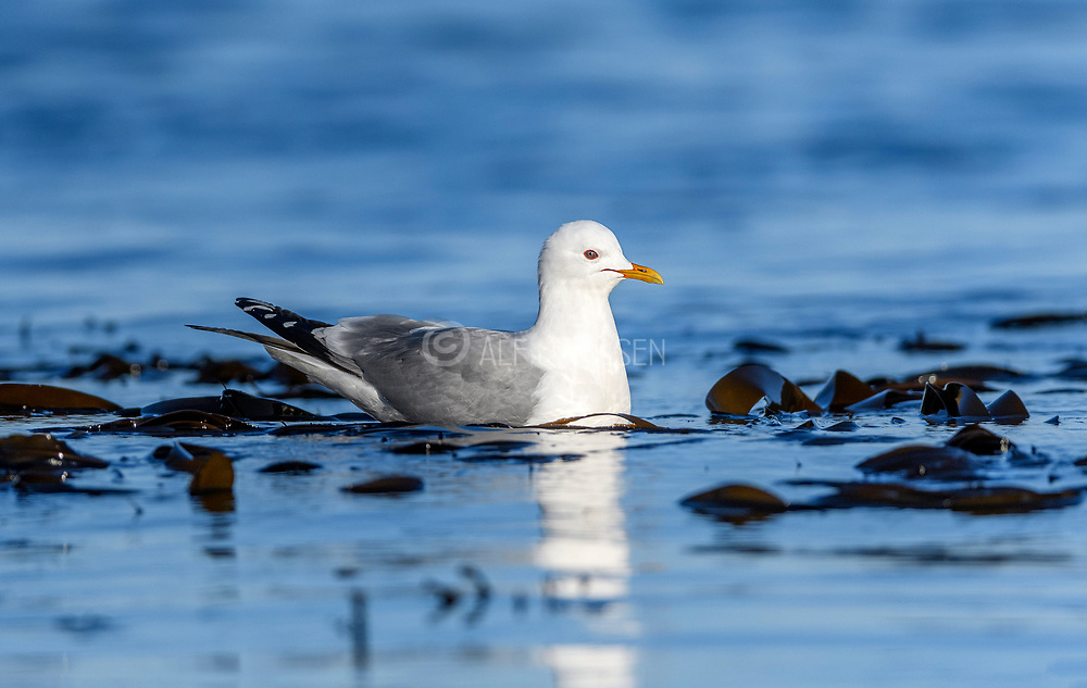 Common gull (Larus canus) from Hidra, south-western Norway in May.