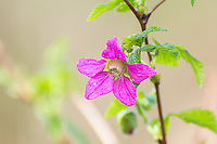 The delicate salmonberry in full blossom, this member of the rose family is one of the very first spring wildflowers in the forests of the Pacific Northwest.