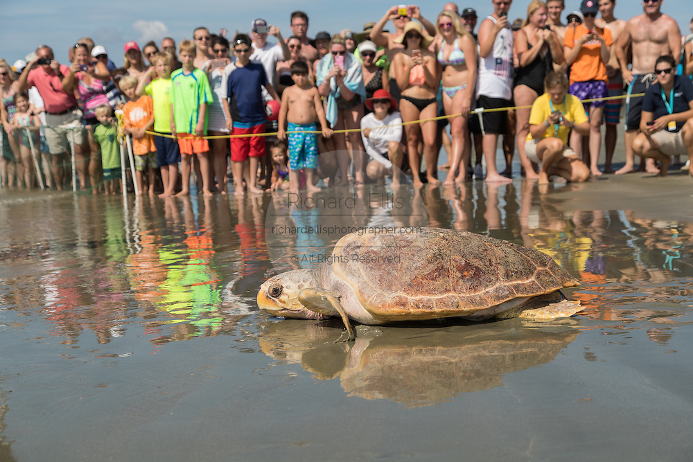 Cheered on by crowds, Lady, a rehabilitated loggerhead sea turtle crawls back into the Atlantic Ocean during a release June 30, 2016 in Isle of Palms, South Carolina. The turtle was found severely emaciated and spent a year in rehabilitation at the South Carolina Aquarium sea turtle hospital in Charleston.