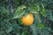 Digitally manipulated rain on Ripe orange on a tree before picking